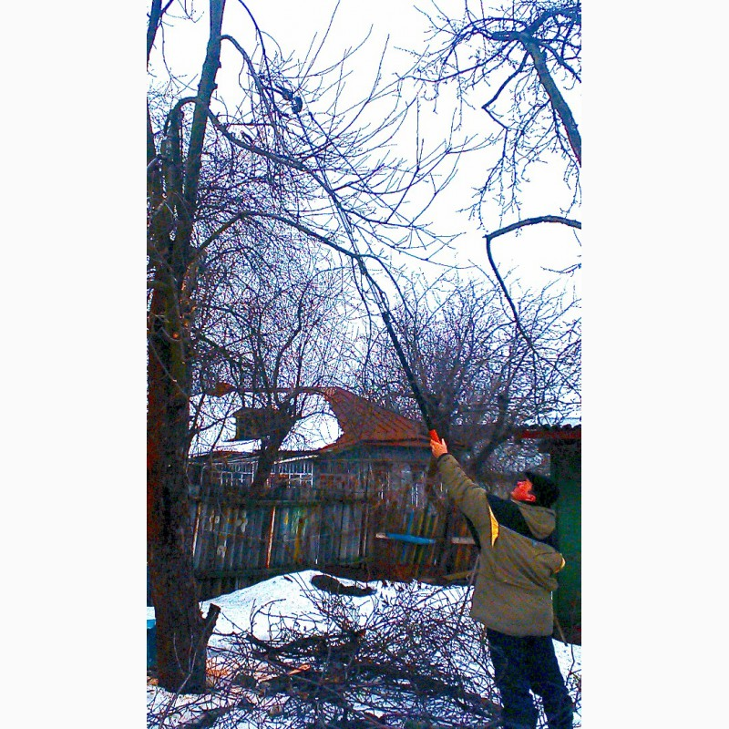 Фото 5. Зимняя обрезка плодовых деревьев