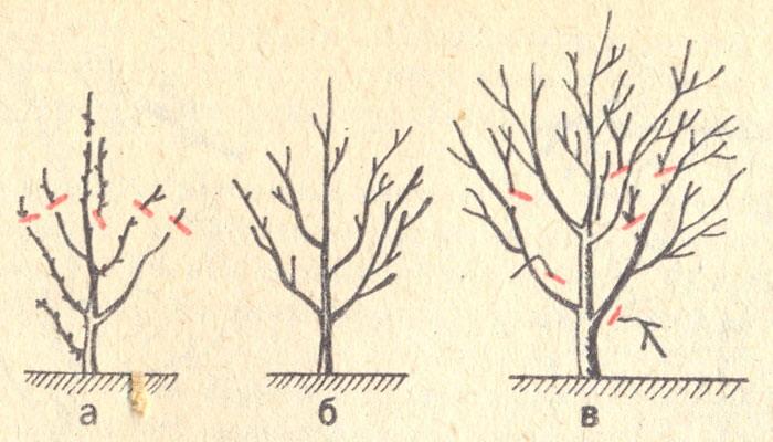 Фото 7. Зимняя обрезка плодовых деревьев
