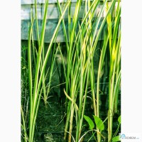 Водные растения. Растения для пруда